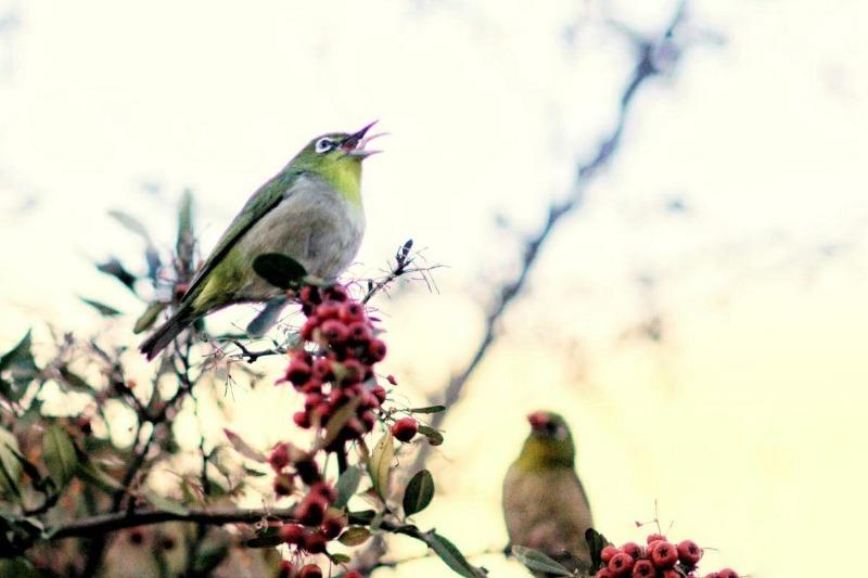 4.예쁜 목소리를 기진 동박새의 노래하는 모습.jpg